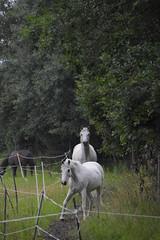 blondit2 (torakuvat) Tags: hevonen tolkinkyl