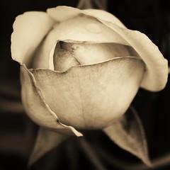 new life (Kiara Clarecita) Tags: roses white detail blanco rose photography monocromo back noir foto negro rosa dettagli fotografia chiara seria blanc kiara dtail monocrome dettaglio 2016 tamburini clarecita