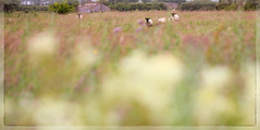 Sunday strollers (Pog's pix) Tags: sheep rural field colourful countryside ayrshire eastayrshire scotland colour farmland dunlop grasses bokeh fluffy outdoor outdoors outside barn shed blur border photoborder pastel