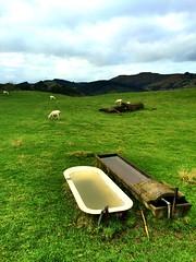 Guthrie-Smith, Tutira (mihingare) Tags: cloud green grass landscape outdoors sheep nz grazing hawkesbay tutira guthriesmith
