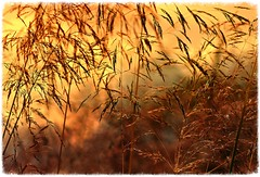 Frag' den Abendwind . . (heinrich_511) Tags: abendwind breeze golden sun evening thoughts heart hl dear caress light image colour color summer mood dof depthoffield detail grain stem love hair foto lovely