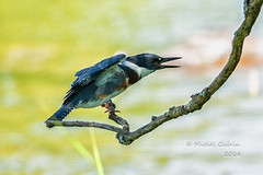 Martin-pcheur d'Amrique - Belted Kingfisher - Megaceryle alcyon (MichelGurin) Tags: 2016 arrondissementlasalle beltedkingfisher bird canada exterior extrieur googlenikcollection lightoomcc martinpcheurdamrique megacerylealcyon michelgurin montral nature nikcollection nikon nikon200500mm parcdesrapides qc qubec tousdroitsrservsallrightsreserved animal eau oiseau water  ca