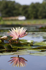 Pink and Blue (Lucie Maru) Tags: flowers flower summerflower plant plants garden waterlilies waterlily pond flowersonpond float floating onwater blooming blooms tranquil