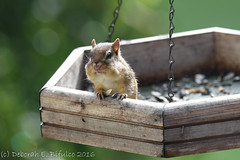 Caught in the act (dbifulco) Tags: nature newjersey nikkor300f4pfed wildlife yard