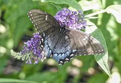 Black phase Eastern Swallowtail (mmorriso2002) Tags: butterfly blackphaseeasternswallowtail butterflybush backyardhabitat newjersey