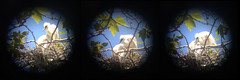 baby egrets (otherthings) Tags: baby nest snowy binoculars egret egrets
