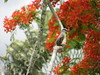 Cabarete (joaquin.stevenson) Tags: flamboyan flower nature cabarete dominicanrepublic caribe