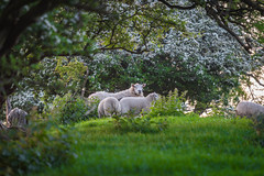 Sheep Under The Tree Arch... (Geraldine Curtis) Tags: sunset lastlight goldenlight barley windturbine sheepwindily derbyshire