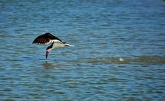 Black skimmer in flight (justkim1106) Tags: bird skimmer blackskimmer flight water skimming splash wildlife sunsetlake portland texas
