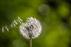 IMG_3691 (Alex Wagner Photography) Tags: sommer summer flowers blumen sun macro closeup dandelion lwenzahn pusteblume