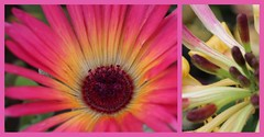 Summer flowers (Pat's_photos) Tags: flower diptych