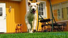 LEKDAGS! (J Tube-Films) Tags: scooby söt retriver cute springer rörelse busar leker glad valp valpar puppy hundvalp hund
