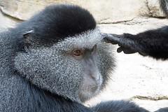 blue monkey (BarryFackler) Tags: life vacation animal fauna mammal zoo monkey midwest nebraska being jungle ape omaha creature biology primate omahazoo vertebrate zoology organism henrydoorlyzoo 2016 omahane bluemonkey omahanebraska hubbardgorillavalley barryfackler barronfackler cmitis henrydoorlyzooandaquarium ceropithecusmitis