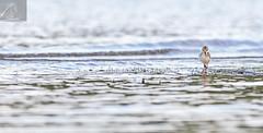 Pied Stilt 21 (Black Stallion Photography) Tags: newzealand white black bird water photography eyes walk wildlife beak fluff chick spots pied stallion stilt nzbirds igallopfree