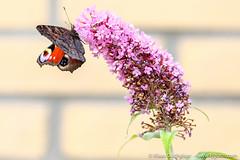 DSCF3432 (Klaas / KJGuch.com) Tags: butterfly vlinder fauna animal animals flyinganimals xpro2 garden backgarden