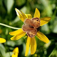 nagy krszemlepke / Meadow Brown (debreczeniemoke) Tags: nyr summer rt meadow rovarok insecta lepke pillang butterfly nagykrszemlepke hm meadowbrown male myrtil groseochsenauge maniolajurtina tarkalepkeflk nymphalidae olympusem5
