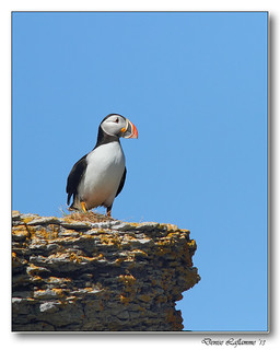 IMG_0309-DL   -   Macareux Moine / Atlantic Puffin.