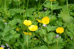 WWG9DSC_5732 (kjemem) Tags: orkney scotland wookwickhouse flower flowers w