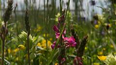 wild flowers (Joachim Krawitsch) Tags: canon fotoachim g1x joachimkrawitsch mark2 markii povphotographie powershot wild flowers swabian alb naturecolourful green
