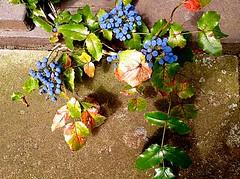 Survival of the fittest (RenateEurope) Tags: bealesbarberry mahoniabealei leatherleaf shrub stechpalmen renateeurope iphoneography 2016 summer rheinland germany plant fruits ilex