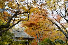 Joujakkou-ji in Autumn  (Patrick Vierthaler) Tags: kyoto japan kansai autumn fall herbst ahorn maple leaves yellow red herbstlaubfrbung herbstlaub momiji japanese japanische      11 2012