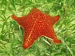 Starfish (alansurfin) Tags: bahama sea star starfish florida underwater snorkeling swimming ocean orange yellow patterns pattern caribbean subtropics keys red seagrass