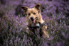The heath is blooming in Holland! W've been to the Hilversumse Heide. (Angelbattle bros) Tags: flowers color flower floral dog summer natural plant animal cute funny pet purple flora pets bloom doggy furry blooming adorable mutt