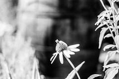 Bee (Happy) (DomiKetu) Tags: bw black blackandwhite blackwhitephotos blackwhite barrythorntons2bathdeveloper bttb nikon nikonf100 f100 50mm f18 selfdeveloped homemadesoup mono monochrome 35mm analogue bee nature natural flower flowers rollei retro 80s