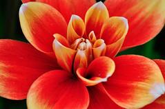 Dahlie  (1) (berndtolksdorf1) Tags: dahlie blte flower pflanze blume rot red outdoor