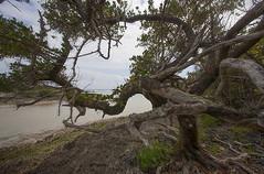 Tree on the edge (jonathan charles photo) Tags: tree bay grape hungry bermuda survival coast shore art photo jonathan charles topf50