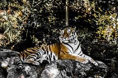 Kolmrden (20 av 38) (joacim_771) Tags: majestic tiger animal orange sleepy power kolmrden cat watching guarding