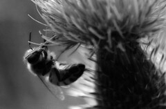 Bee and thistle (TJ Gehling) Tags: insect hymenoptera bee apidae apis honeybee plant flower asterales asteraceae circium thistle ohlonegfreenway elcerrito bw blackandwhite monochrome