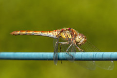 Common Darter Dragonfly (Kev Gregory (General)) Tags: garden dragonfly dragon fly kev gregory insect green macro canon 7d f28 100mm lens common darter sympetrum striolatum family libellulidae native eurasia ef