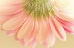 Pastel petals (shannon4462) Tags: flower pov daisy petals pastels macro nikon d7000 105mm pastelpetals