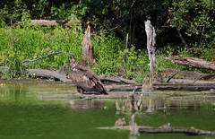 Juvenile bald eagle on Cunningham Pond - Mt. Loretto, Staten Island, New York (superpugger) Tags: statenislandbaldeagles bald eagles baldeagles newyorkcitywildlife lawrencepugliares lpugliares