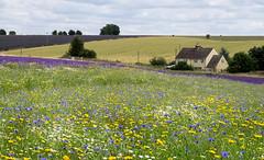 Flower Field (loraine.french57) Tags: wildflowers meadow field snowshilllavender farmhouse lavender landscape