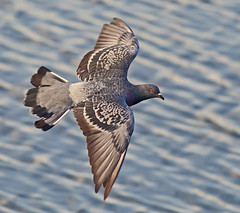 Feral pigeon  ( Columba livia ) - Fly by !! (Mid Glam Sam1) Tags: columbalivia rockdove pigeon inflight wales water lake pond