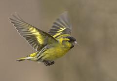 Flight of the Siskin (Mr F1) Tags: siskin bif birdsinflight johnfanning yellow colourful closeup detail wild carduelisspinus