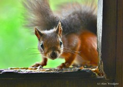 Red Squirrel - Isle of Wight (Alan Woodgate) Tags: wild animal nature red squirrel