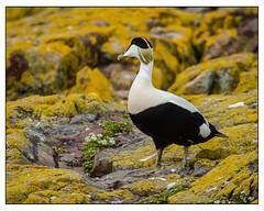 Eider Duck (david.ireland) Tags: frns canon7d canon wildlife nature birds colour eiderduck farnislands