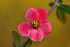 Japanese quince blossom (Chaenomeles japonica) (natureloving) Tags: chaenomelesjaponica japanesequince blossom macro winterflowers nature flowersinfrance fleursenfrance flowersineurope natureloving nikon d90 afsvrmicronikkor105mmf28gifed