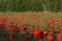 Poppies/Coquelicots (paddyfrog2012) Tags: flowers france fleurs soleil nikon champ poopies nikond3200 carpentras coquelicots d3200 profondeurdechamp