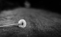 Pusteblume (fotodesignscherlack) Tags: blackandwhite white black detail nature landscape 50mm nikon bokeh outdoor natur pflanzen blte landschaft nahaufnahme schleswigholstein feldweg itzehoe schrfentiefe lwenzahn pusteblume d600 schwarzweis nikond600