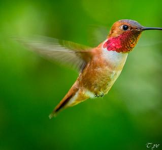 Hummingbird 蜂鳥