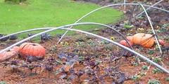DSC_4532 (AperturePaul) Tags: netherlands amsterdam pumpkin zoo nikon 85mm artis d600