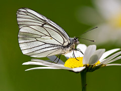 Black-veined white (normanwest4tography) Tags: white blackveinedwhite blackveined