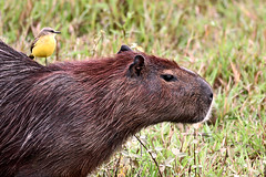 Hitching a ride (Spectacle Photography) Tags: brazil male animal brasil wildlife wilderness matogrosso pantanal capybara hydrochoerushydrochaeris animalsinthewild cattletyrant wildlifewatching parquenacionaldopantanalmatogrossense