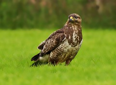 Common Buzzard (buteo buteo )- Say cheese !! (Mid Glam Sam1) Tags: buzzard wales uplands bird predator opportunist hawk welsh perched grass field commonbuzzard birdofprey