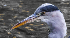 Fierce (Steve-h) Tags: nature natur natura naturaleza heron greatgreyheron sharp beak fierce eye head curvy neck feathers water pond park ststephensgreen dublin ireland europe citycentre downtown archives autumn september 2015 wildlife canon camera telephoto zoom lens eos ef steveh depthoffield dof bokeh allrightsreserved