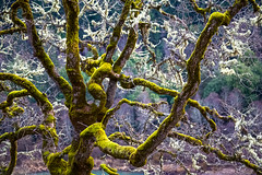 UmpquahValleyTree (Cindee Snider Re) Tags: nature tree moss lichen mosscoveredtree